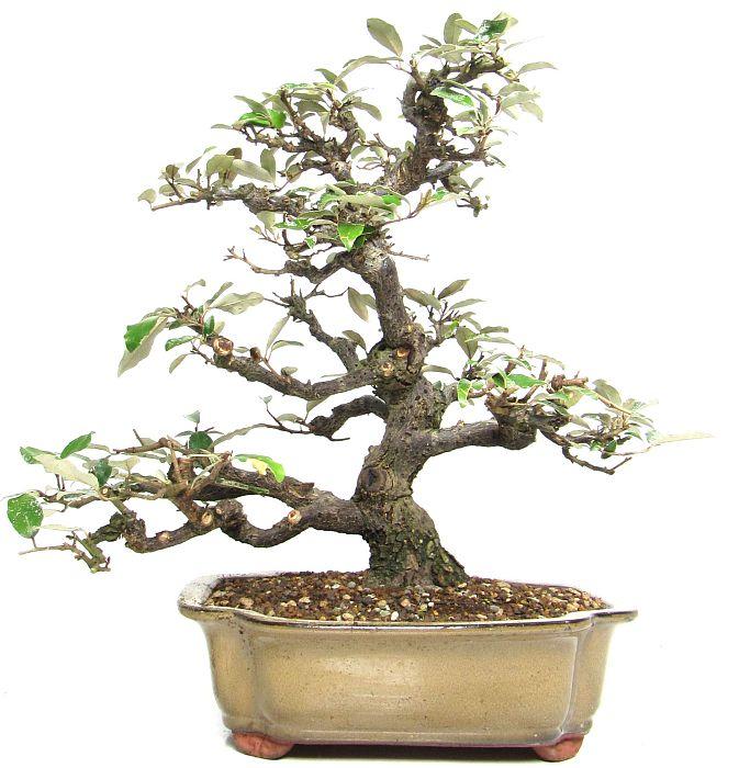 (38 cm) - www.bonsai 9014ffcdf133