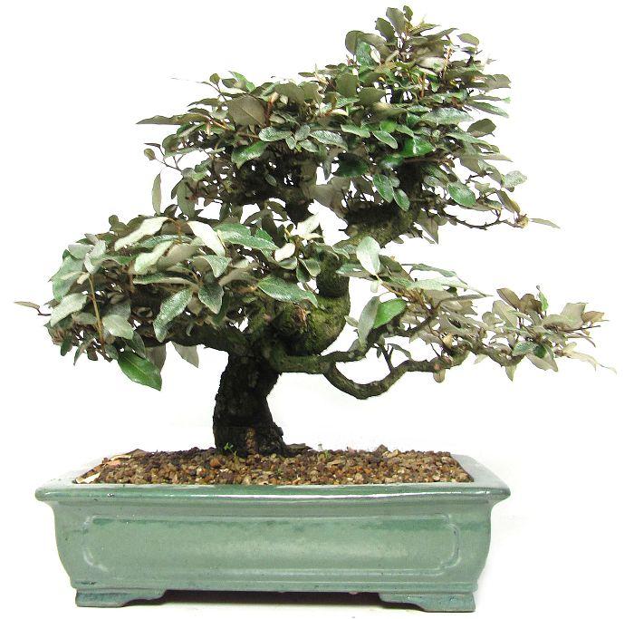 (41 cm) - www.bonsai 48897c04888a