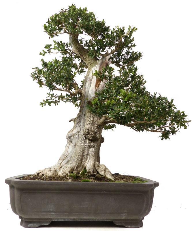 produkte bonsai laubb ume buchsbaum ca 130 j 96. Black Bedroom Furniture Sets. Home Design Ideas