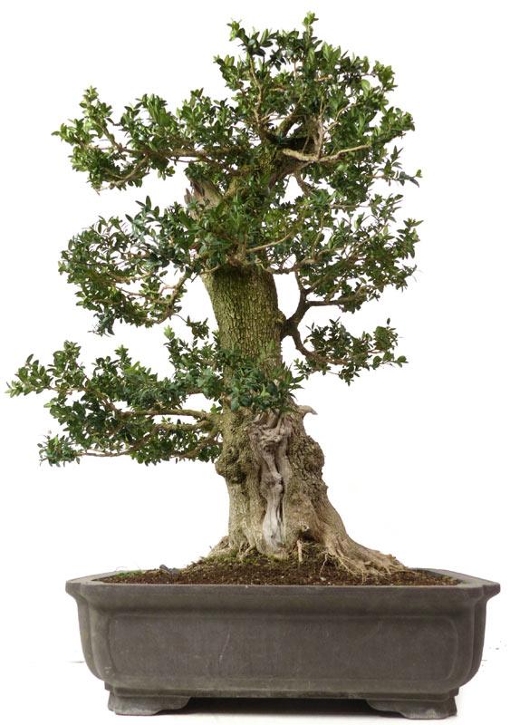 shop bonsai laubb ume l059 buchsbaum ca. Black Bedroom Furniture Sets. Home Design Ideas