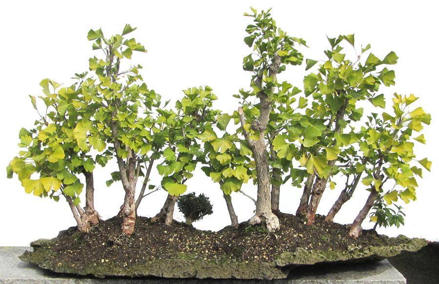 produkte bonsai laubb ume ginkgo ca 9 16 j 68 cm der bonsai online shop. Black Bedroom Furniture Sets. Home Design Ideas