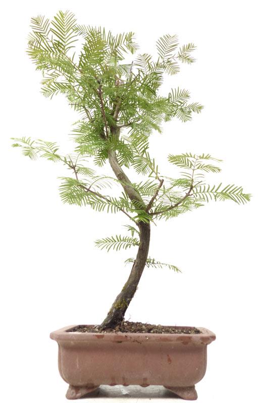 produkte bonsai nadelb ume n010 urweltmammutbaum ca. Black Bedroom Furniture Sets. Home Design Ideas