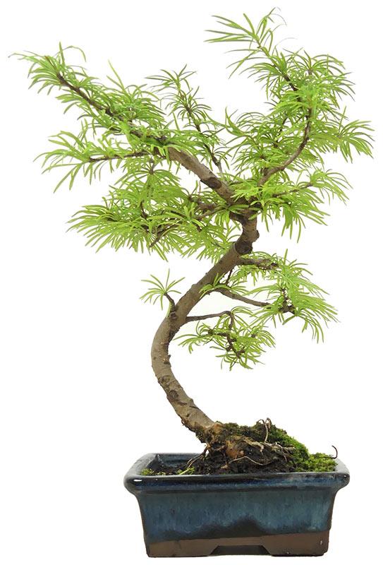 Bonsai De Shop Bonsai Conifers N011 N011 26 Golden Larch Ca 6 Y 27 Cm