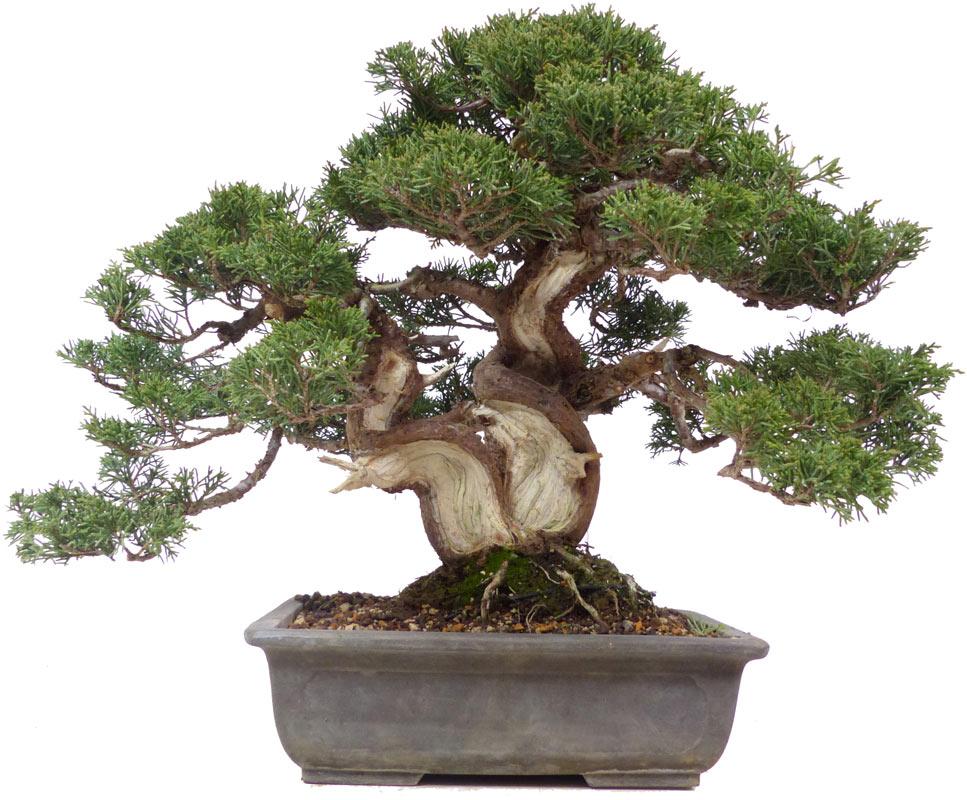 Chinese Juniper, ca  35 y  (33 cm)