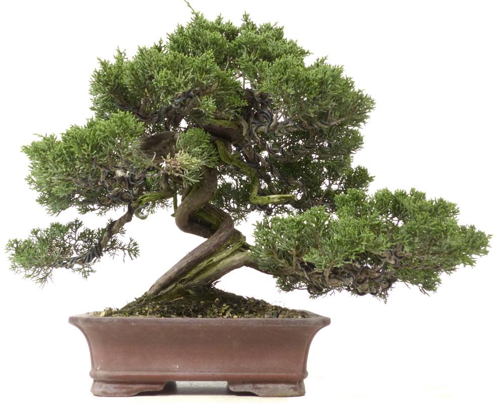 shop bonsai nadelb ume n069 chin wacholder itoigawa ca 40 j 28 cm. Black Bedroom Furniture Sets. Home Design Ideas