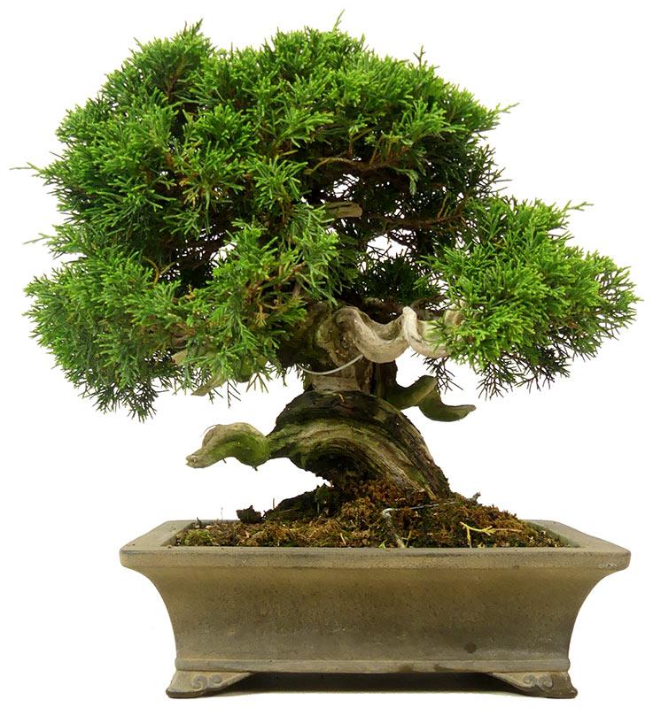 Chinese Juniper, ca  25 y  (27 cm)