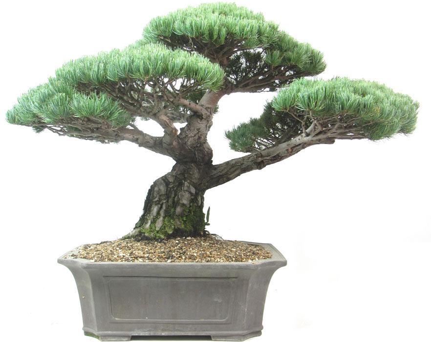 Japanese white pine 933120eb92f8
