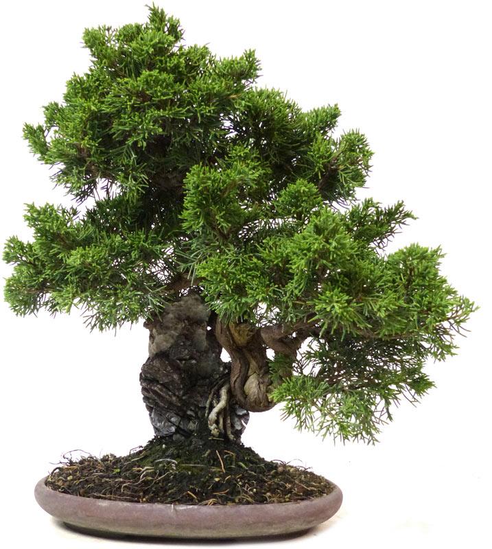 (36 cm) - www.bonsai c83ac27829ad