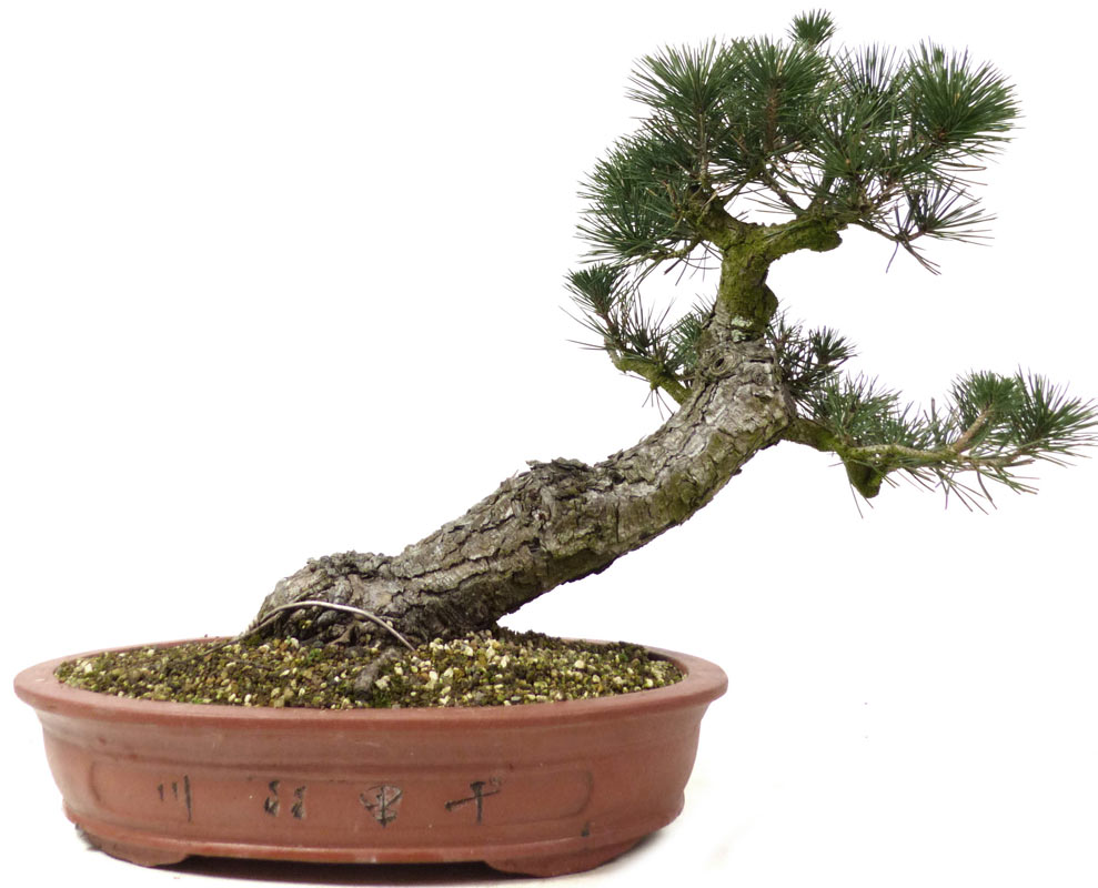 produkte bonsai rohware r003 jap schwarzkiefer ca. Black Bedroom Furniture Sets. Home Design Ideas