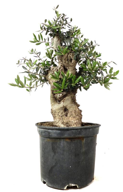 produkte bonsai rohware r016 olivenbaum ca 25 jahre bonsai. Black Bedroom Furniture Sets. Home Design Ideas