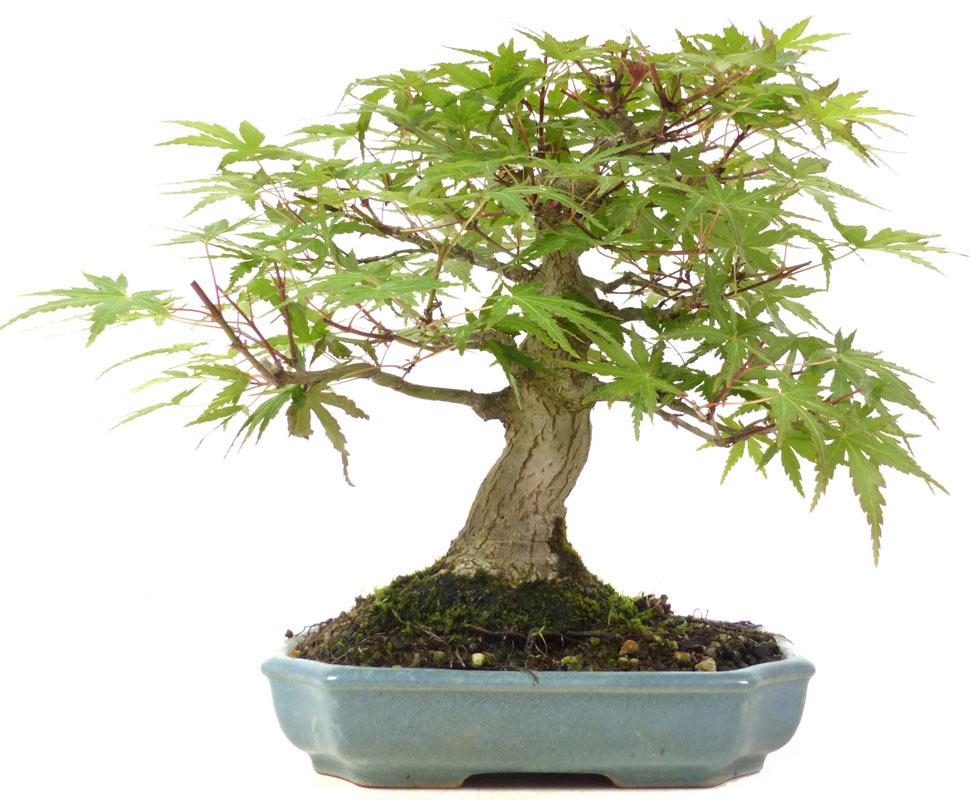 produkte bonsai shohin jap f cherahorn ca 15 j. Black Bedroom Furniture Sets. Home Design Ideas