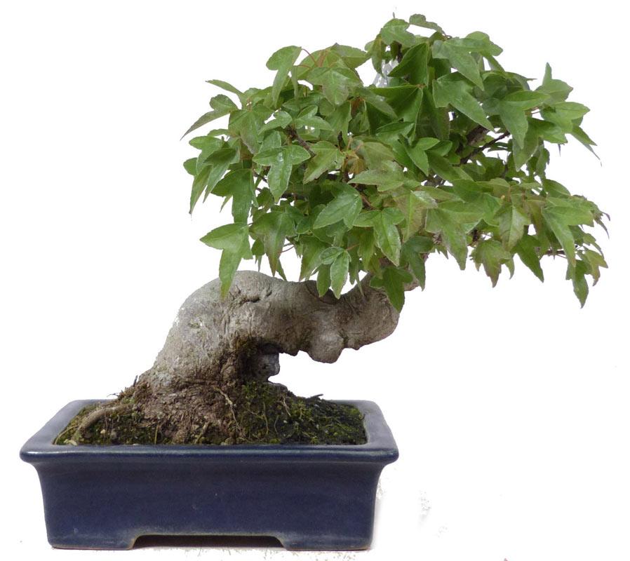 (15 cm) - www.bonsai ee74e80992b9