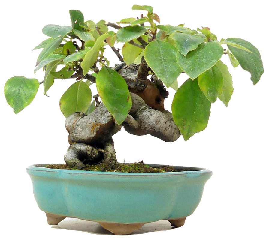 Bonsai De Shop Bonsai Shohin Sh081 Chin Quitte Ca 18 J 14 Cm