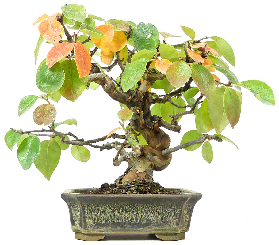 Bonsai De Shop Bonsai Shohin Sh083 Chin Quitte Ca 18 J 22 Cm