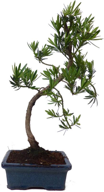 Bonsai.de SHOP, Bonsaï, D\'intérieur, Z001, [Z001_05] Podocarpus ...