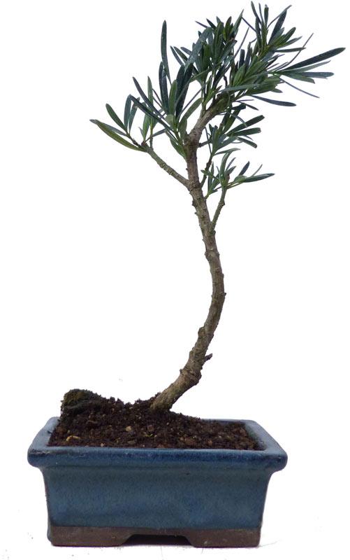 Bonsai.de SHOP, Bonsaï, D\'intérieur, Z001, [Z001_10] Podocarpus ...