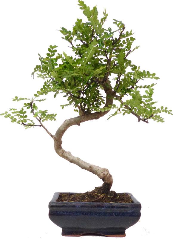http://www.bonsai.de/images/Z012-08_zanthoxylum_piperitum_2708_bonsai.jpg