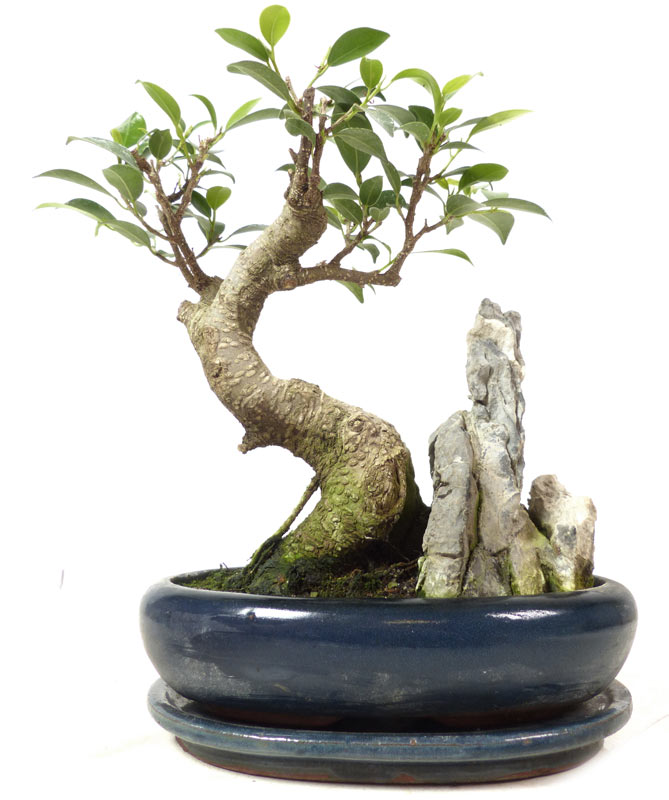 http://www.bonsai.de/shop/images/Z012-18_chin_feigenbaum_ret_ficus_retusa_1404_bonsai.jpg