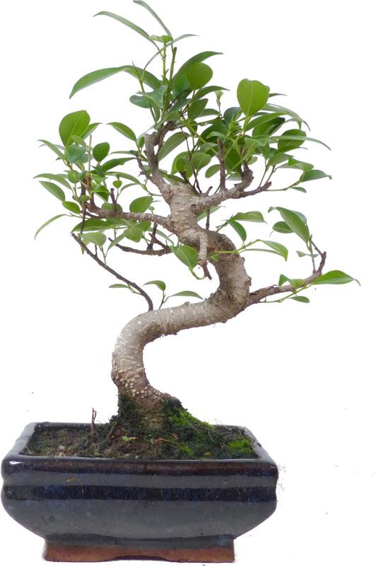 http://www.bonsai.de/images/Z013-05_ficus_retusa_0810_bonsai.jpg