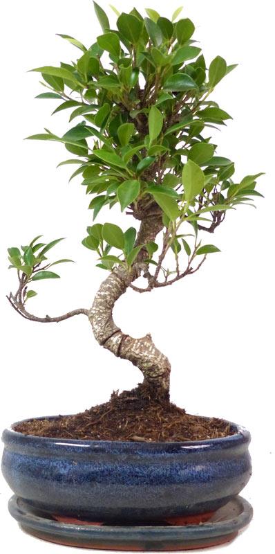 http://www.bonsai.de/images/Z017-27_ficus_retusa_2607_bonsai.jpg