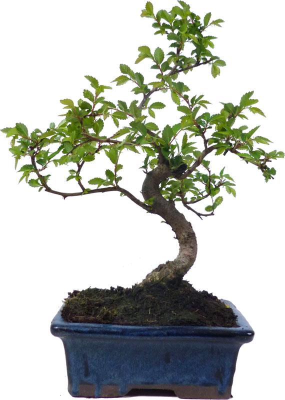 Bonsai.de SHOP, Bonsaï, D\'intérieur, Z020, [Z020_16] Orme de Chine ...