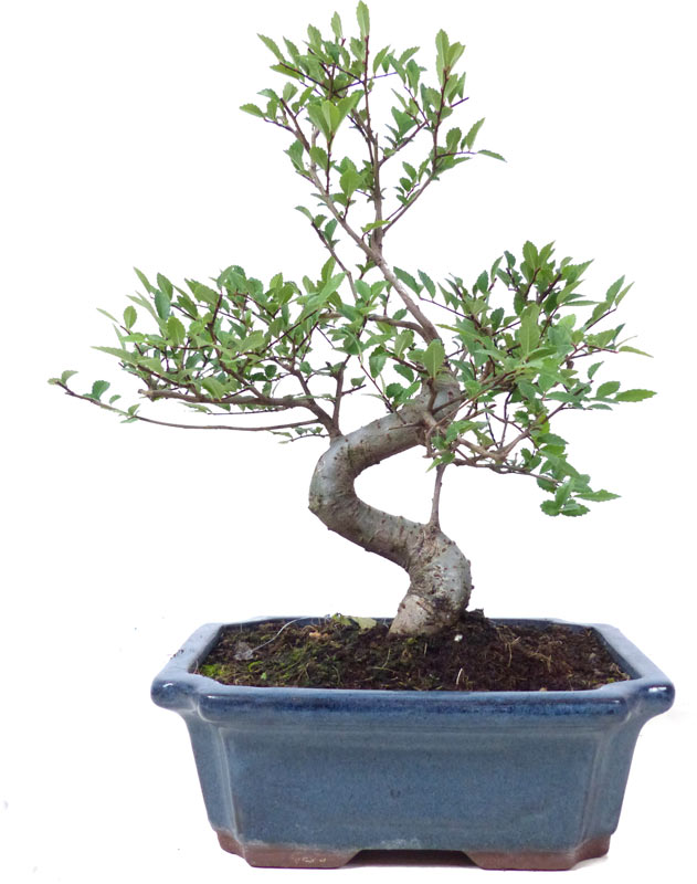 http://www.bonsai.de/images/Z021-26_ulmus_parvifolia_1906_bonsai.jpg
