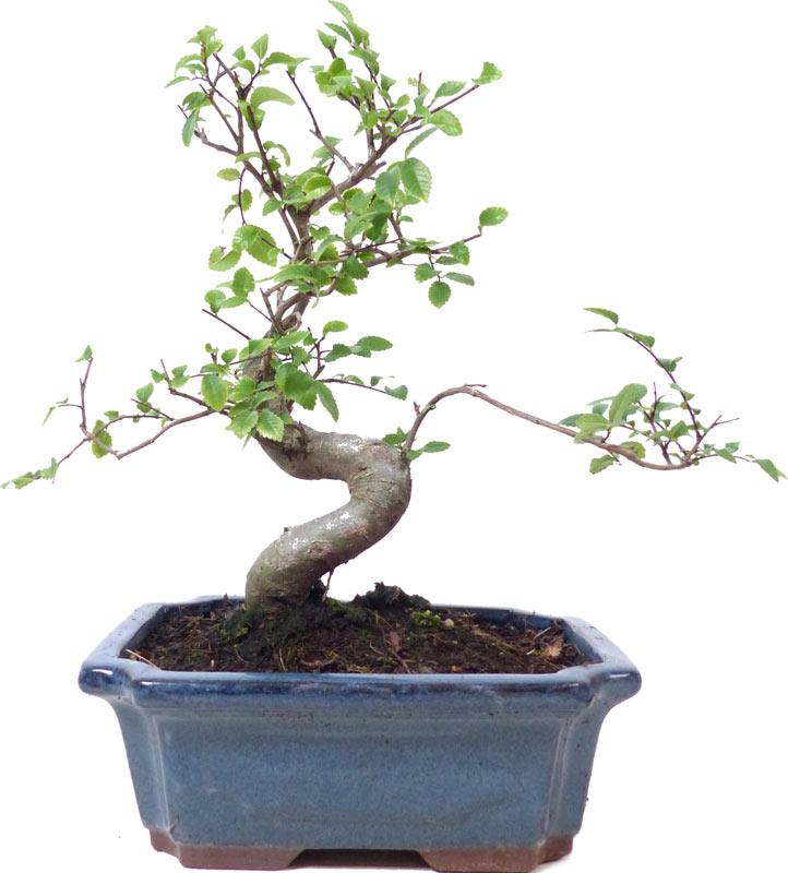 http://www.bonsai.de/images/Z021-29_ulmus_parvifolia_1306_bonsai.jpg