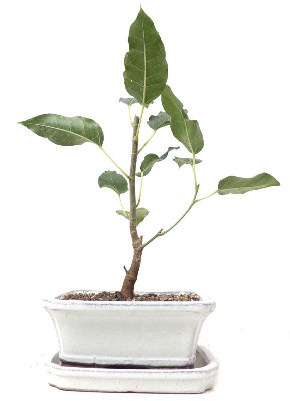 produkte bonsai zimmerbonsai z022 buddha baum ca 3 jahre buddha baum ca 3 j 22 cm. Black Bedroom Furniture Sets. Home Design Ideas
