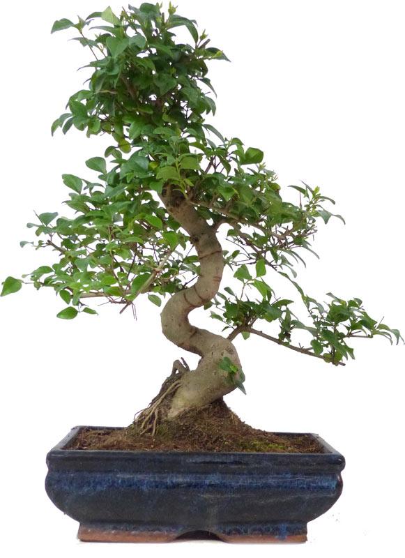 http://www.bonsai.de/images/Z024-37_ligustrum_sinensis_2409_bonsai.jpg