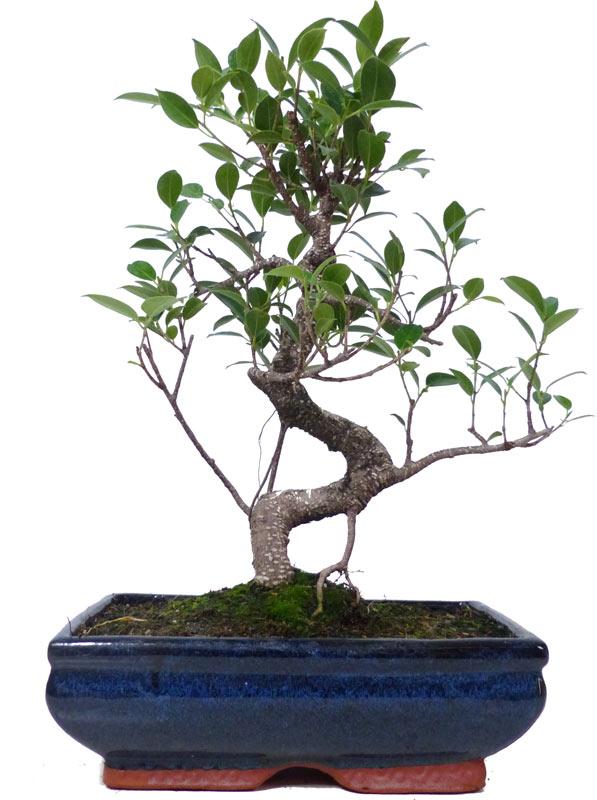 Bonsai.de SHOP, Bonsaï, D\'intérieur, Z027, [Z027_15] Ficus Retusa ...