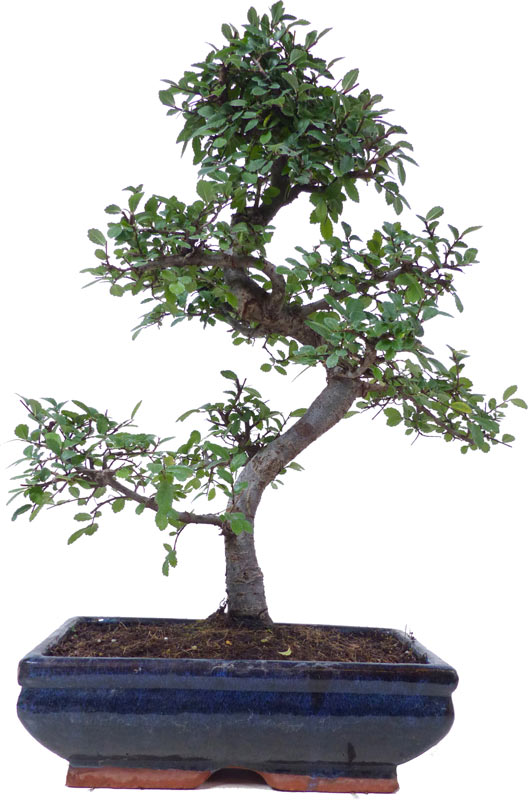 http://www.bonsai.de/images/Z032-07_ulmus_parvifolia_1010_bonsai.jpg