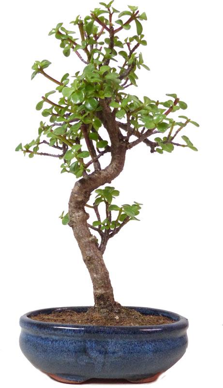 http://www.bonsai.de/images/Z042-04_portulacaria_afra_2708_bonsai.jpg