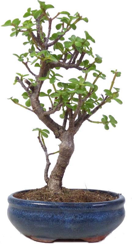 http://www.bonsai.de/images/Z042-10_portulacaria_afra_2708_bonsai.jpg