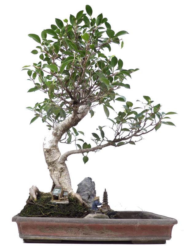 http://www.bonsai.de/images/Z051_01_ficus_retusa_1610_bonsai.jpg