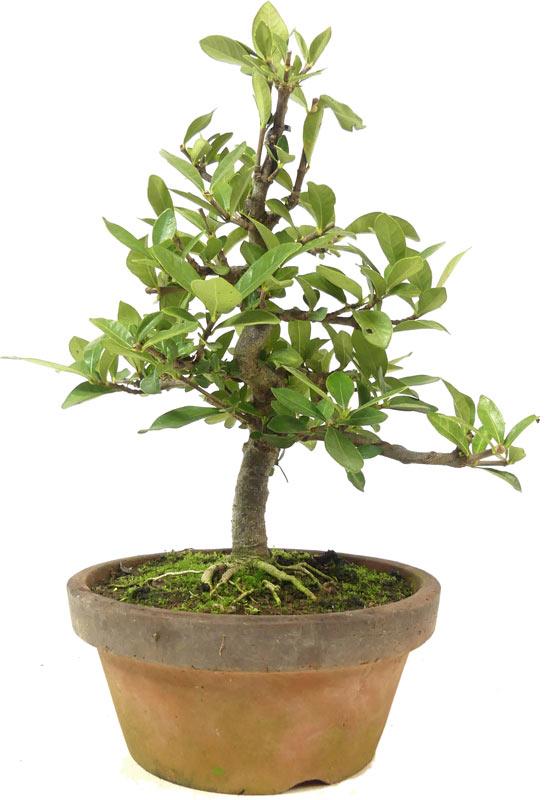 Bonsai De Shop Bonsai Da Interno Z056 Z056 05 Gardenia Jasminoides Ca 12 Anni 23 Cm
