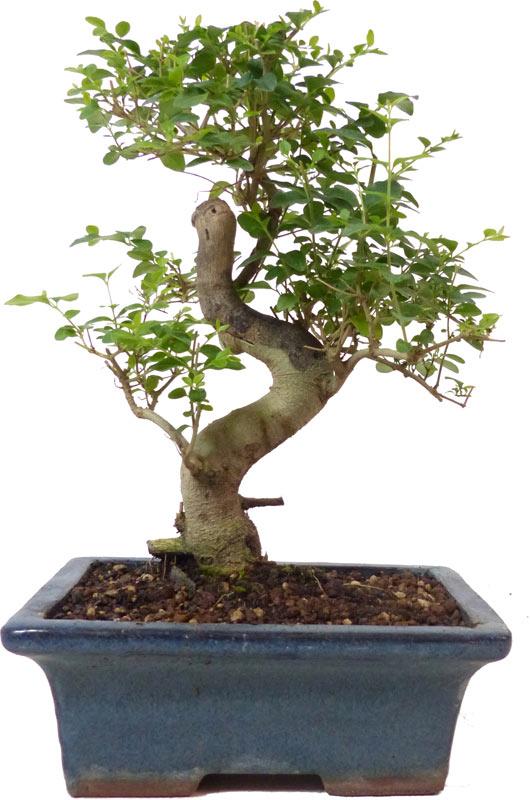 http://www.bonsai.de/images/Z056-08_ligustrum_sinensis_1007_bonsai.jpg