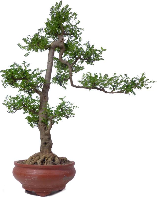 Bonsai.de SHOP, Bonsaï, D\'intérieur, [Z061] Zanthoxylum piperitum ...