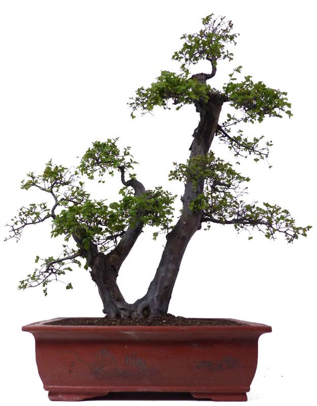 Bonsai.de SHOP, Bonsaï, D\'intérieur, [Z072] Sageretia theezans, env ...