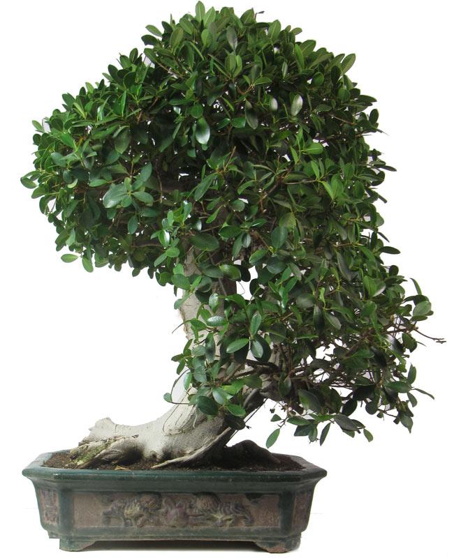Produkte bonsai zimmerbonsai der bonsai for Bonsai da interno