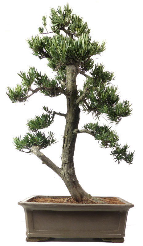 Shop bonsai zimmerbonsai for Bonsai versand
