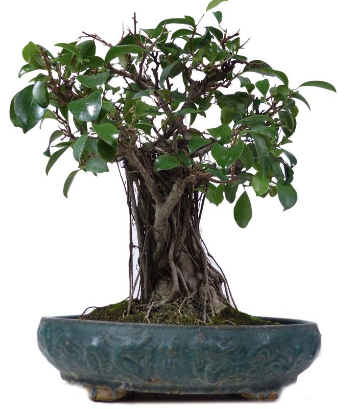 Bonsai.de SHOP, Bonsaï, D\'intérieur, [Z089] Ficus Retusa, env. 25 ...