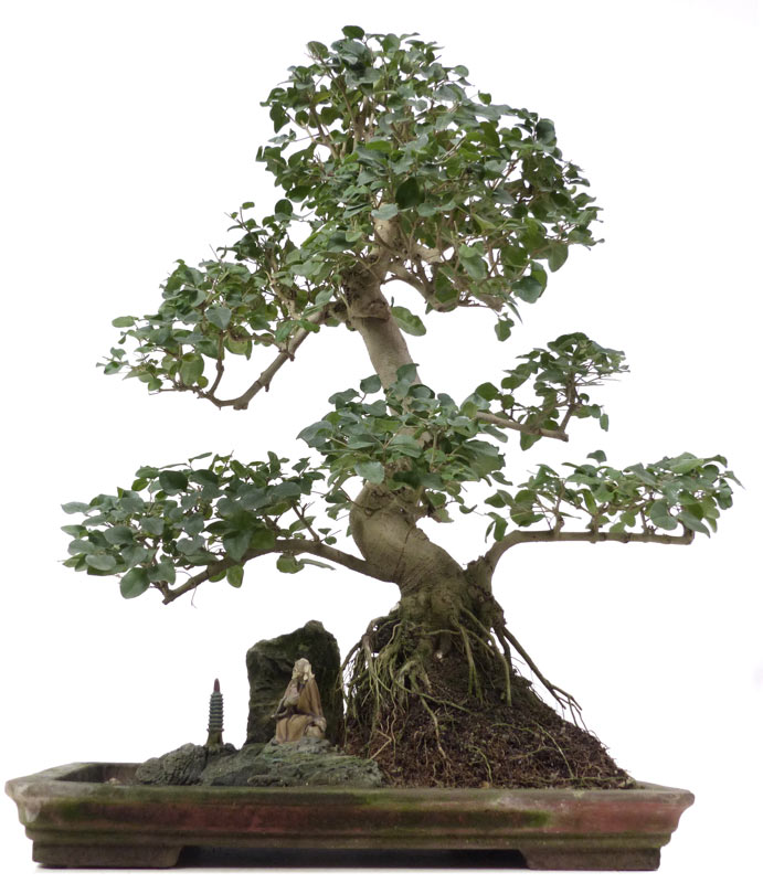 produkte bonsai zimmerbonsai chin liguster ca 20 j 59 cm der bonsai. Black Bedroom Furniture Sets. Home Design Ideas