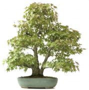 Jap. Maple, approx. 35 y. (78 cm)