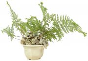 Rabbit Foot Fern, ca. 4 y. (21 cm)