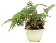 Rabbit Foot Fern, ca. 4 y. (15 cm)
