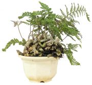 Rabbit Foot Fern, ca. 4 y. (17 cm)