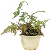 Rabbit Foot Fern, ca. 4 y. (18 cm)