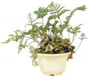 Rabbit Foot Fern, ca. 4 y. (19 cm)