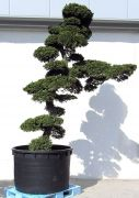 Gardenbonsai - Cypress, approx. 50 years