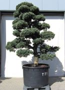 Gardenbonsai - Pine tree, approx. 50 years